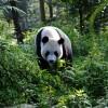 Reuzenpandaverzorgers Ouwehands Dierenpark terug uit China
